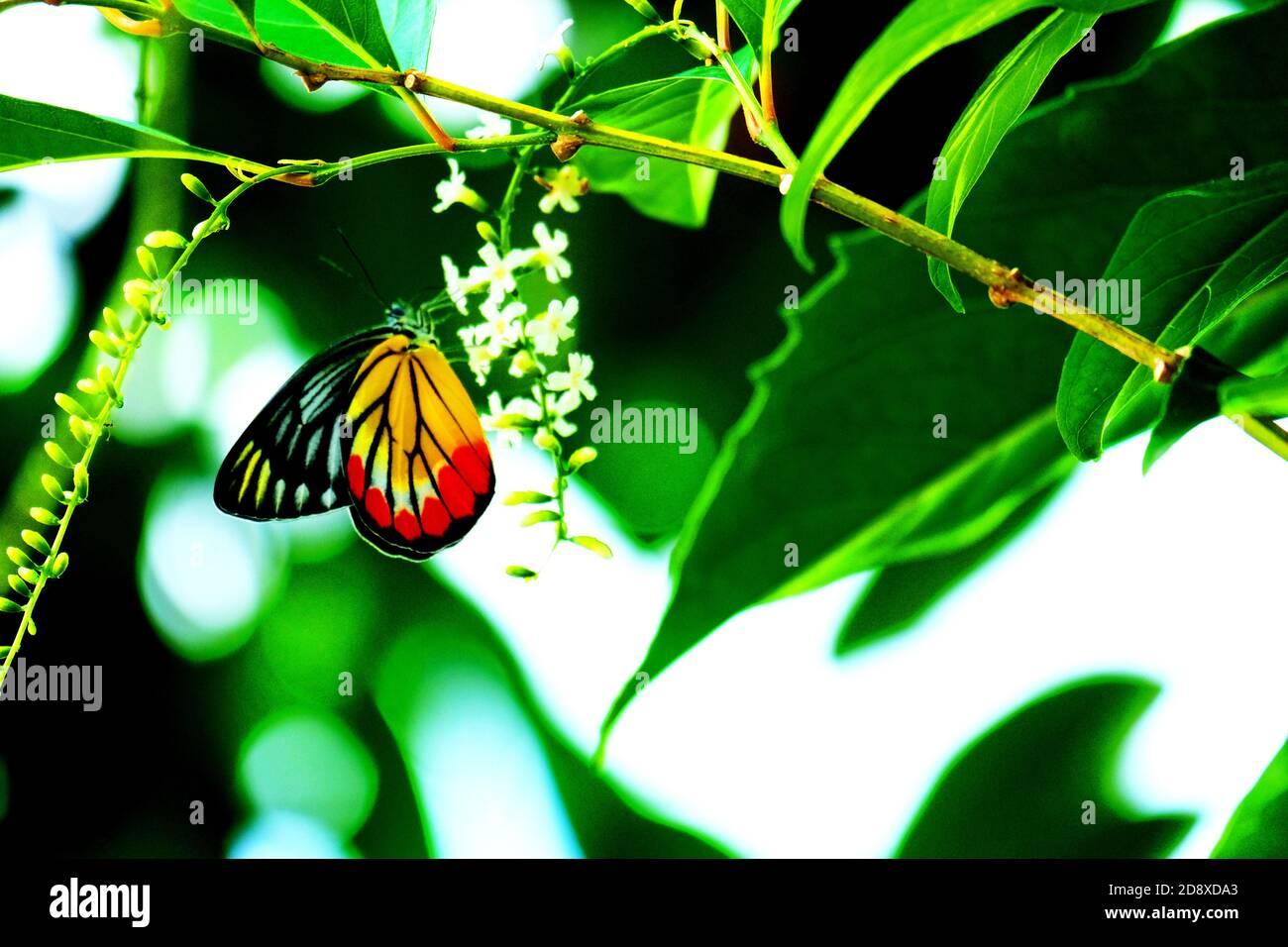 Hermosa mariposa es chupar néctar de pequeñas flores blancas Foto de stock