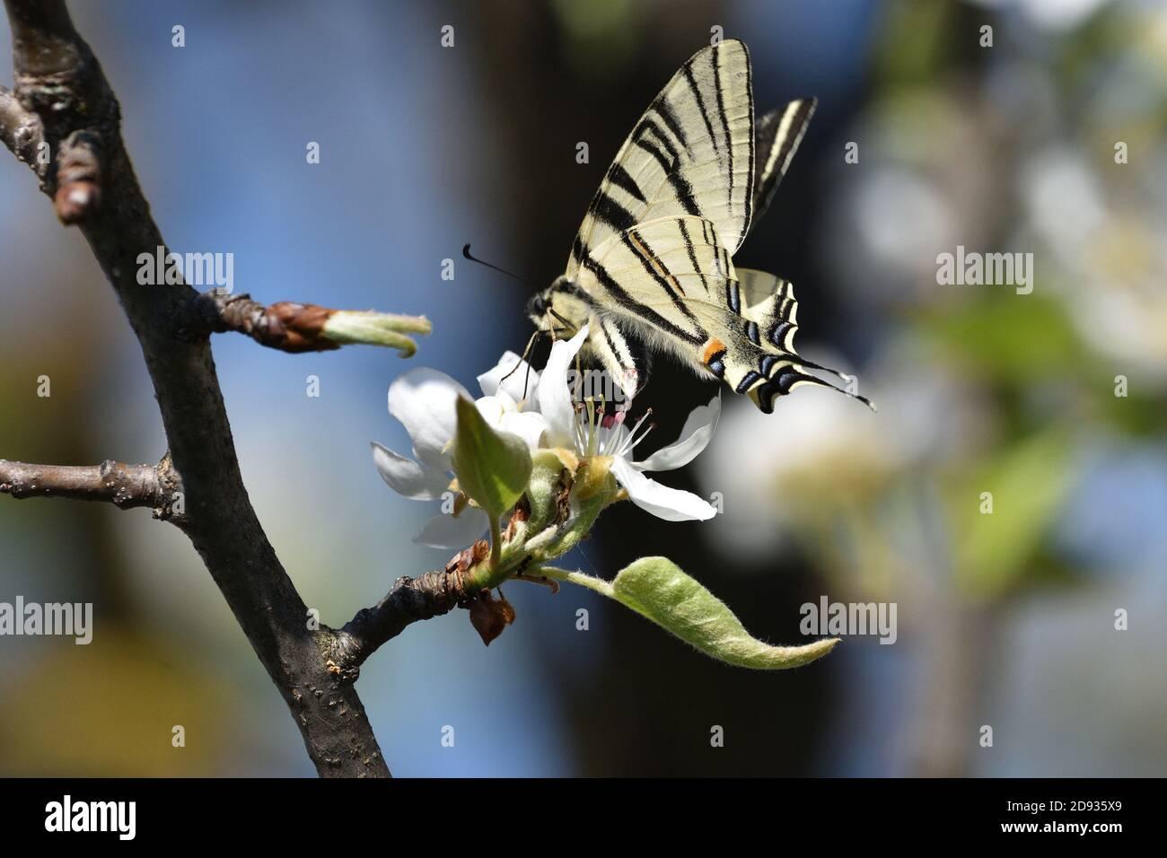 Espécimen aislado de escaso swallowtail, (Iphiclides podalirius) mientras se chupa néctar de las flores de una planta de pera. Foto de stock
