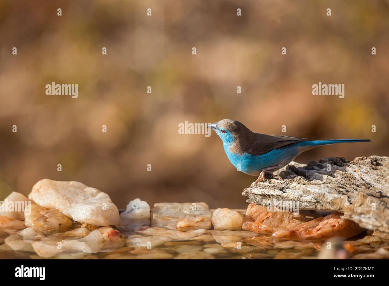Macho cordonbleu de pecho azul (Uraeginthus angolensis) en el pozo de agua del Parque Nacional Kruger, Sudáfrica Foto de stock