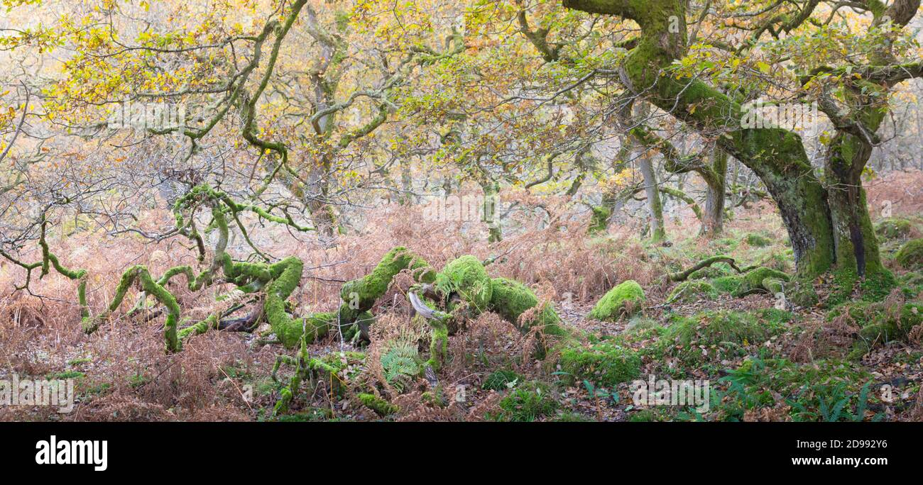 Retorcidos robles antiguos en un bosque en otoño, con hojas doradas y musgo verde brillante en los troncos y ramas de los árboles. Foto de stock