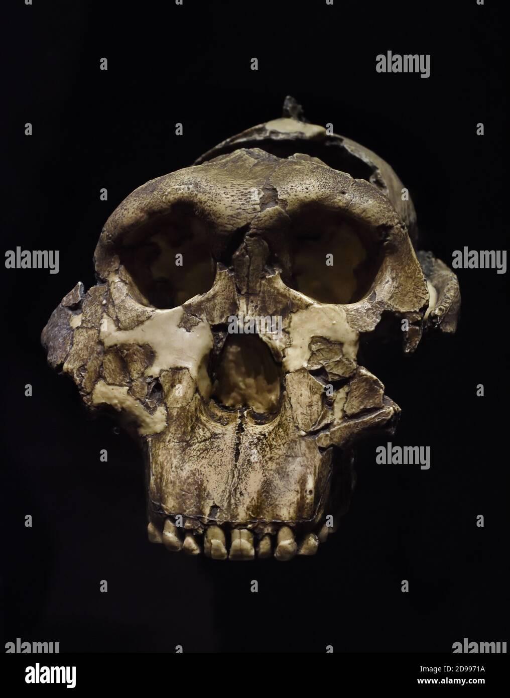 Reproducción de un cráneo de Paranthropus boisei, llamado Querido Niño. 1,8 millones de años. Desde Olduvai Gorge, Tanzania. Museo Arqueológico Nacional. Madrid. España África Foto de stock
