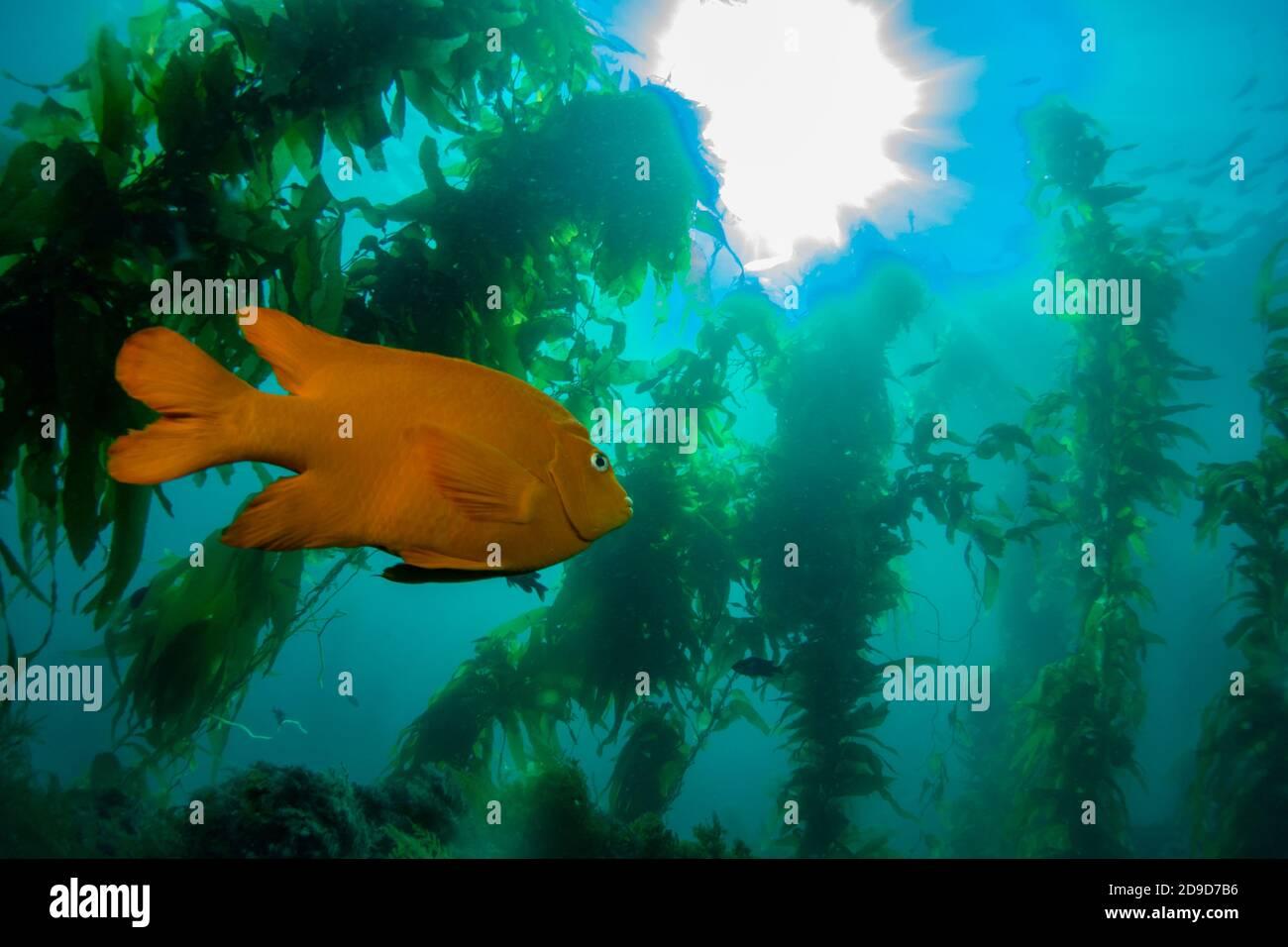 Garibaldi, Hypsypops rubicundus, el pez marino del estado de California, buceo EN Catalina Island, California, EE.UU Foto de stock
