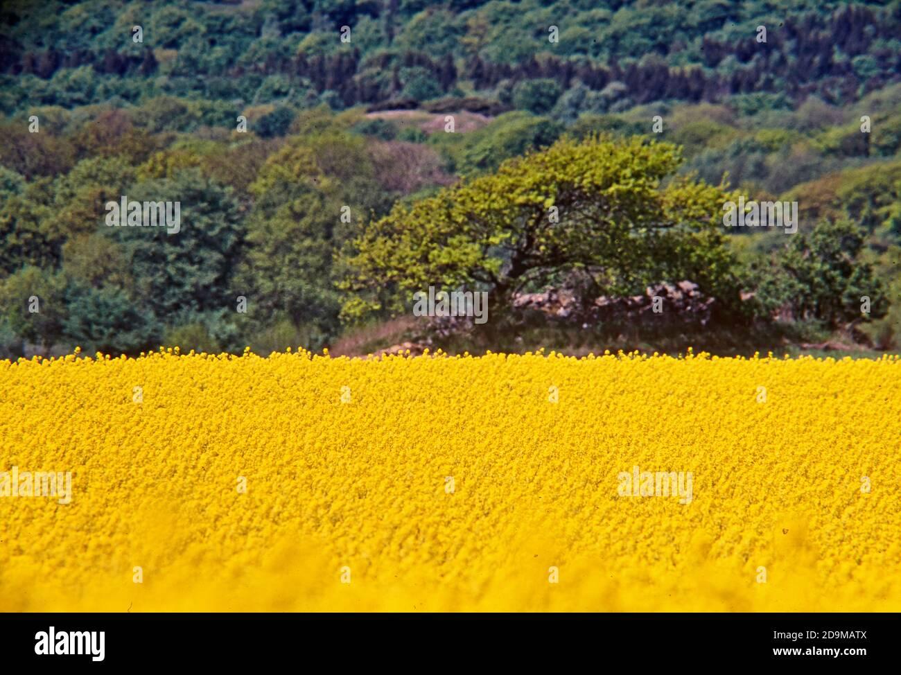 Rapes de semillas oleaginosas (Brassica napus) en un campo con bosque en el fondo, Vastergotland, Suecia Foto de stock