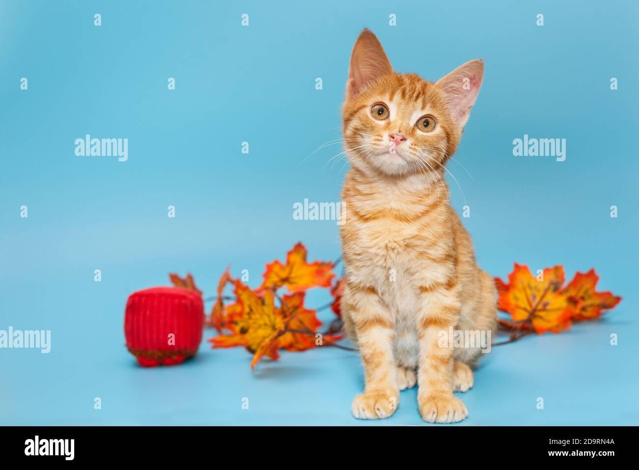 Pequeño gatito rojo y hojas de otoño sobre fondo azul Foto de stock