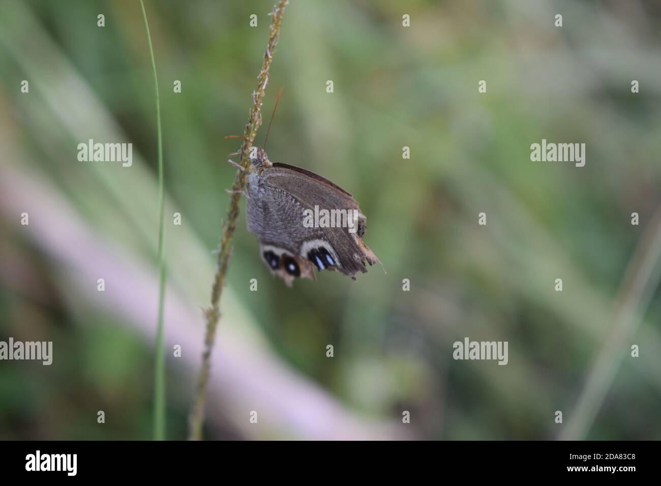 Vale la pena ver la mariposa gris jugando Foto de stock