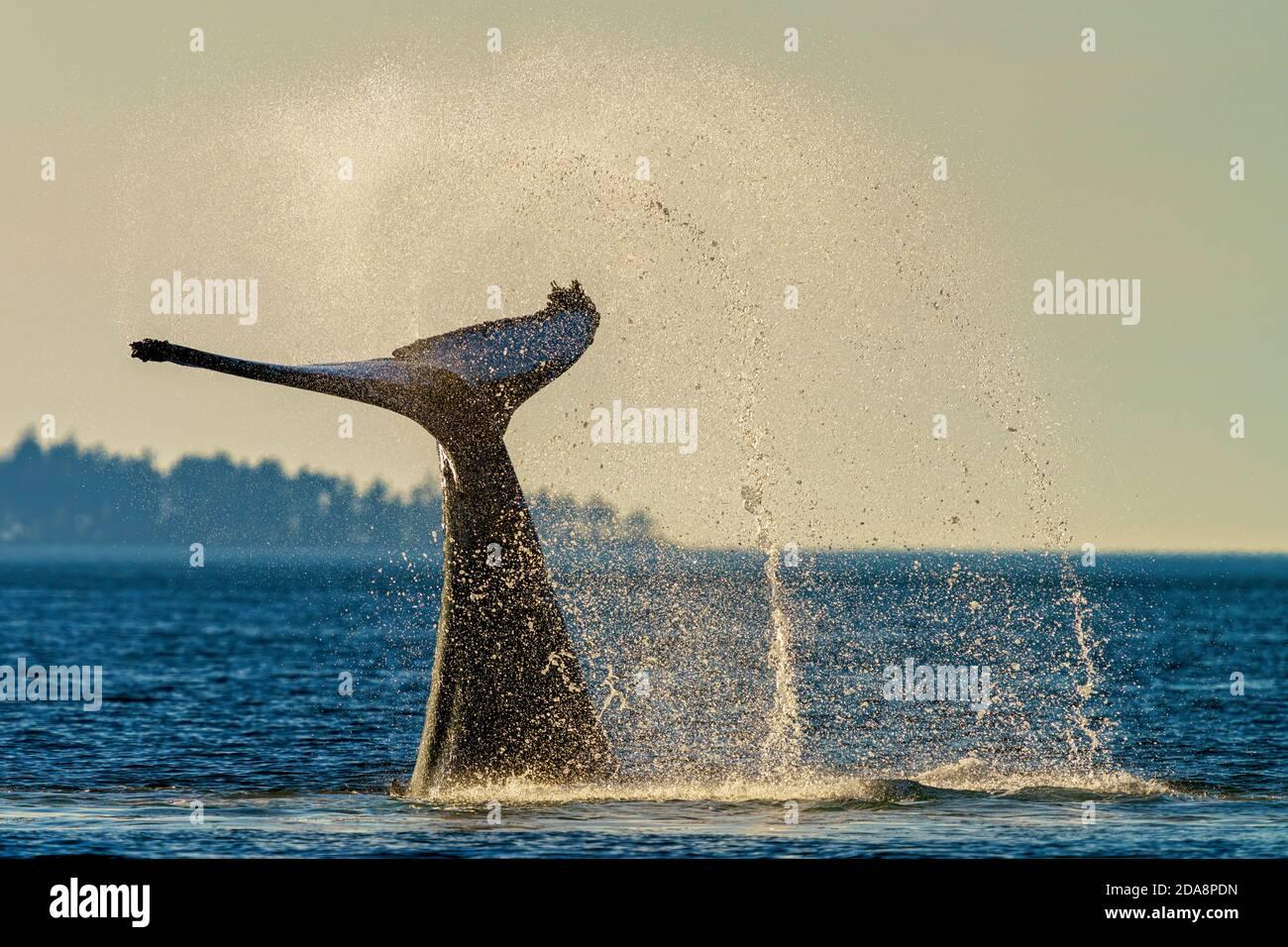 La cola de ballena jorobada golpea durante una tarde fuera de la isla de Vancouver, Columbia Británica, Canadá Foto de stock