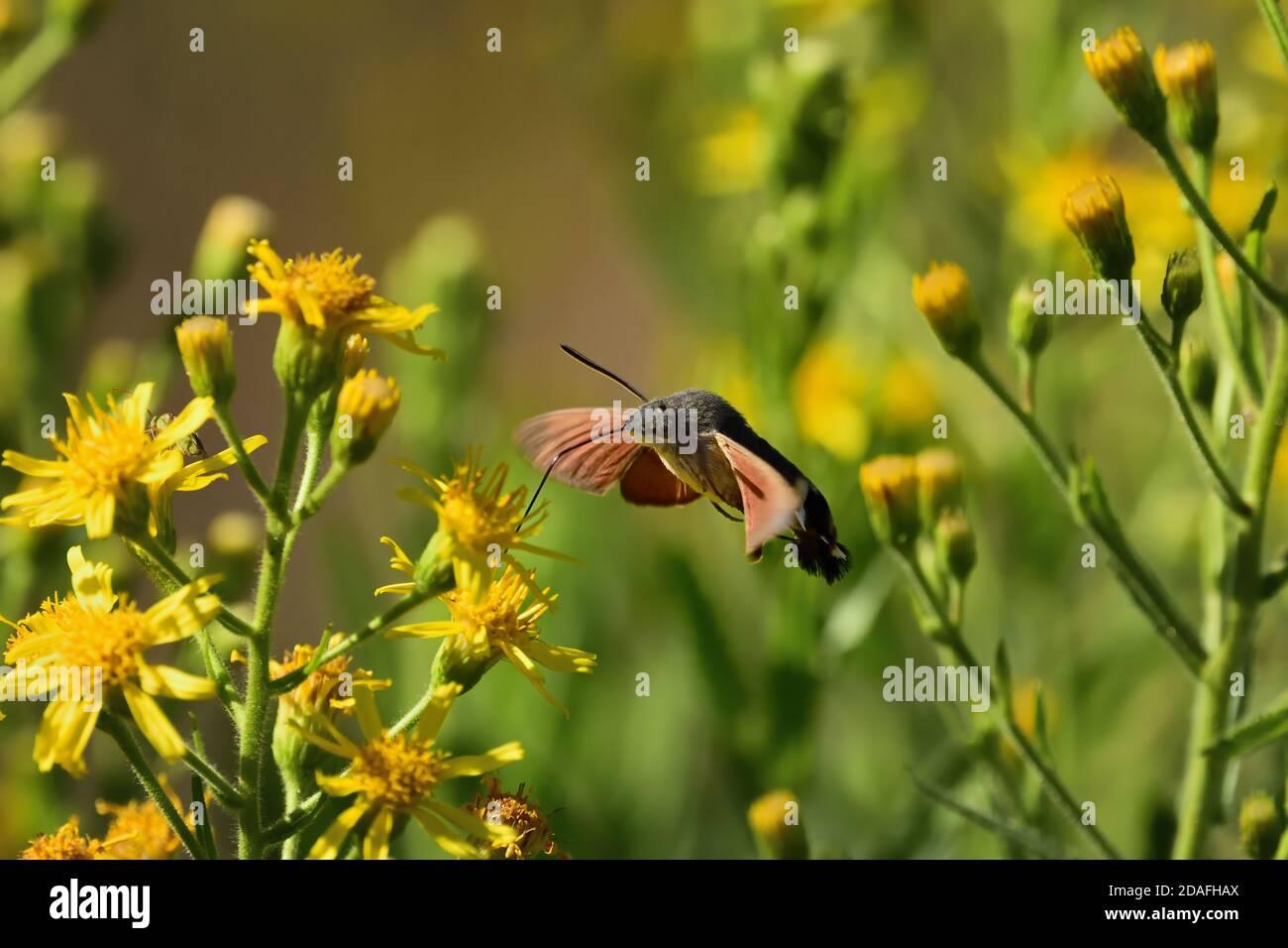 Espécimen aislado de colibrí de polilla de halcón (Macroglossum stellatarum). Vuela rápido de flor a flor y también se llama el Hummingbird Sphinx. Foto de stock