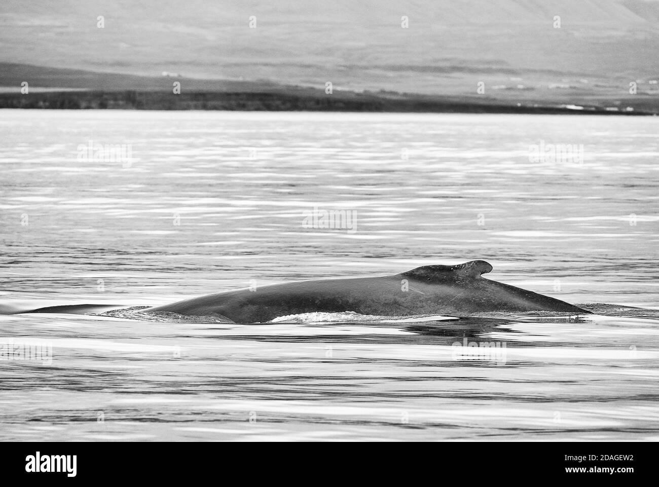 Observación de ballenas en Husavik, Norte de Islandia, Europa Foto de stock