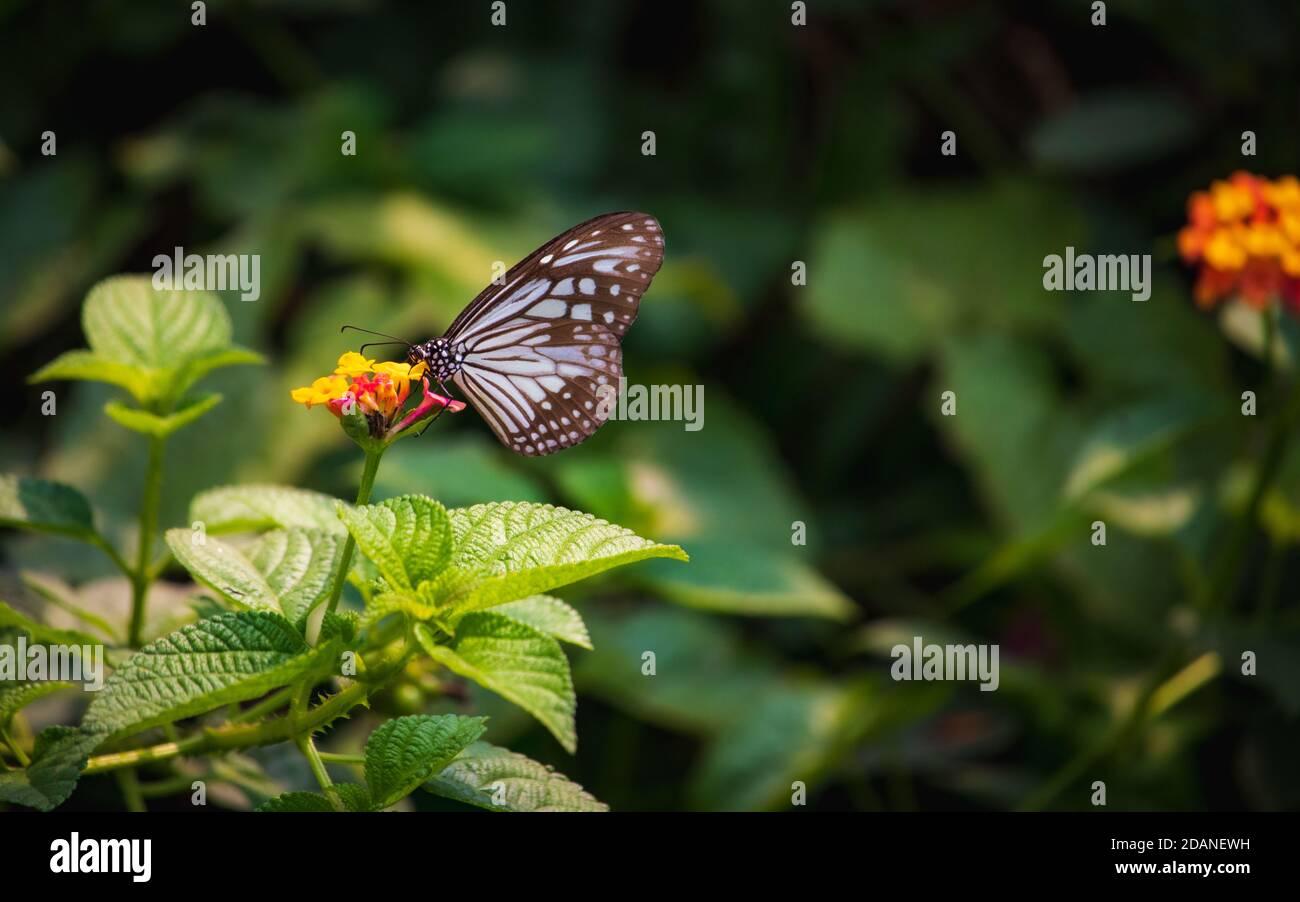 Hermoso primer plano de un azul Glassy mariposa de alimentación de tigre miel en una flor amarilla con fondo verde borroso Foto de stock