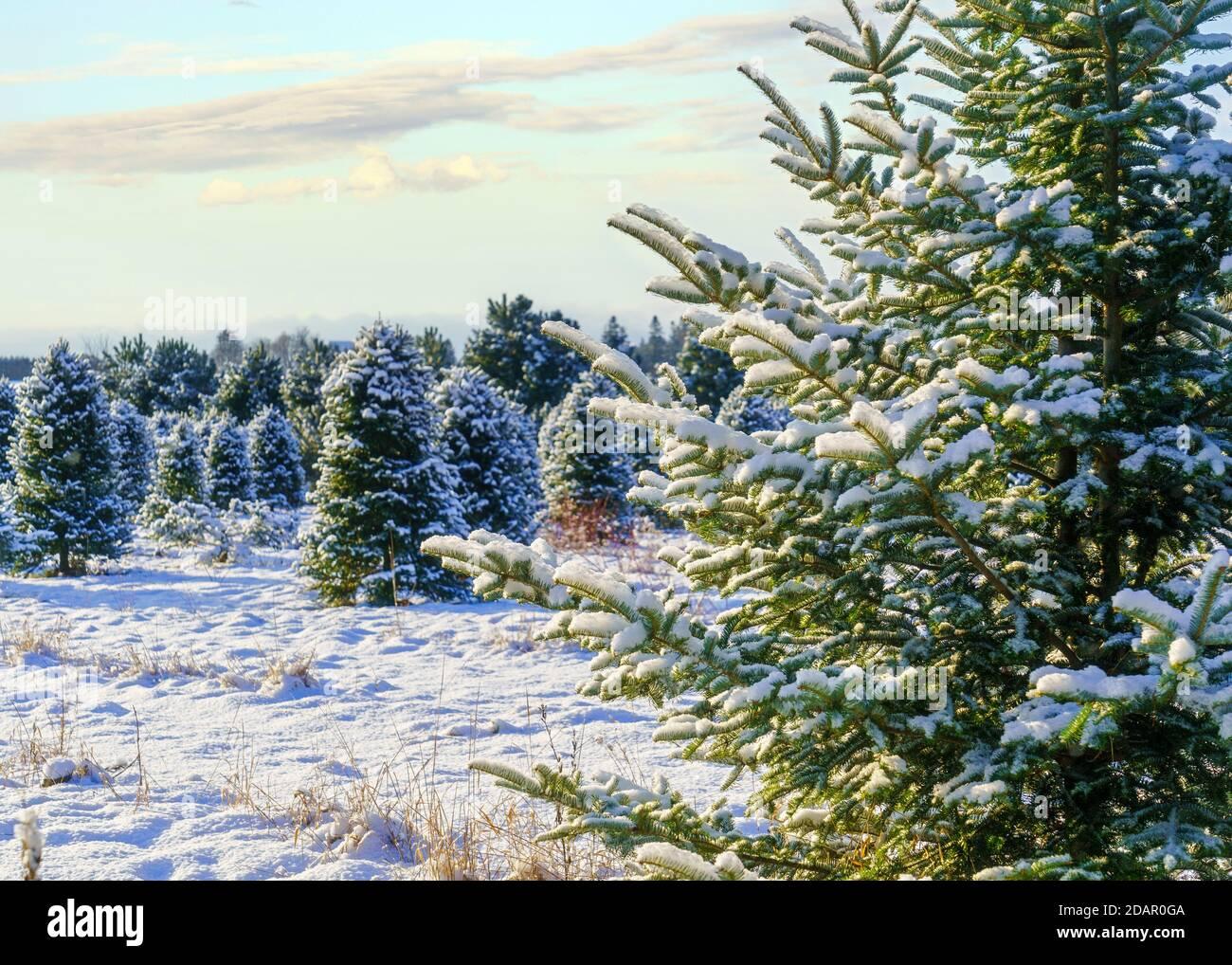 Abeto Balsam en una granja de árboles de Navidad cubierta de una manta de nieve. Foto de stock