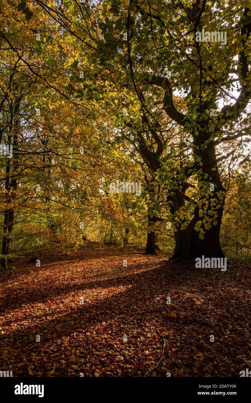 La luz del sol del otoño a través de árboles del bosque crea una alfombra dorada de hojas y colores de follaje impresionantes, Middleton Woods, Ilkley, W Yorkshire, Inglaterra, Reino Unido Foto de stock