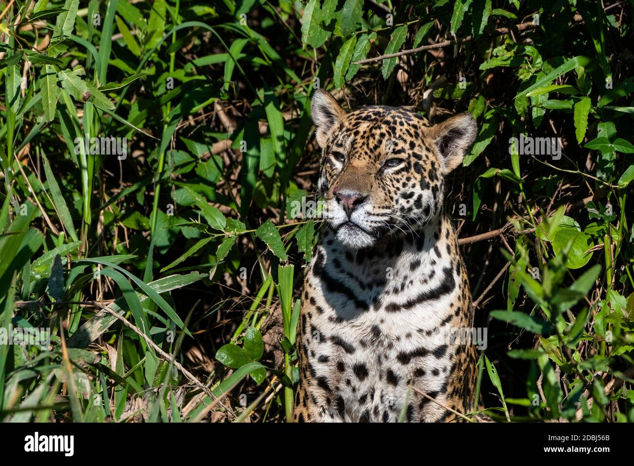 Jaguar (Panthera onca), el Pantanal de Mato Grosso, Mato Grosso, Brasil, América del Sur Foto de stock
