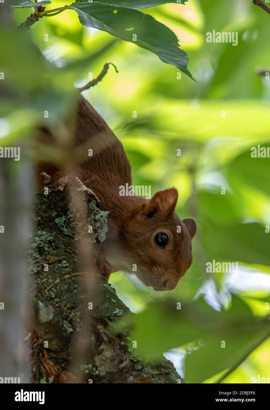 Ardilla temerosa en un árbol Foto de stock