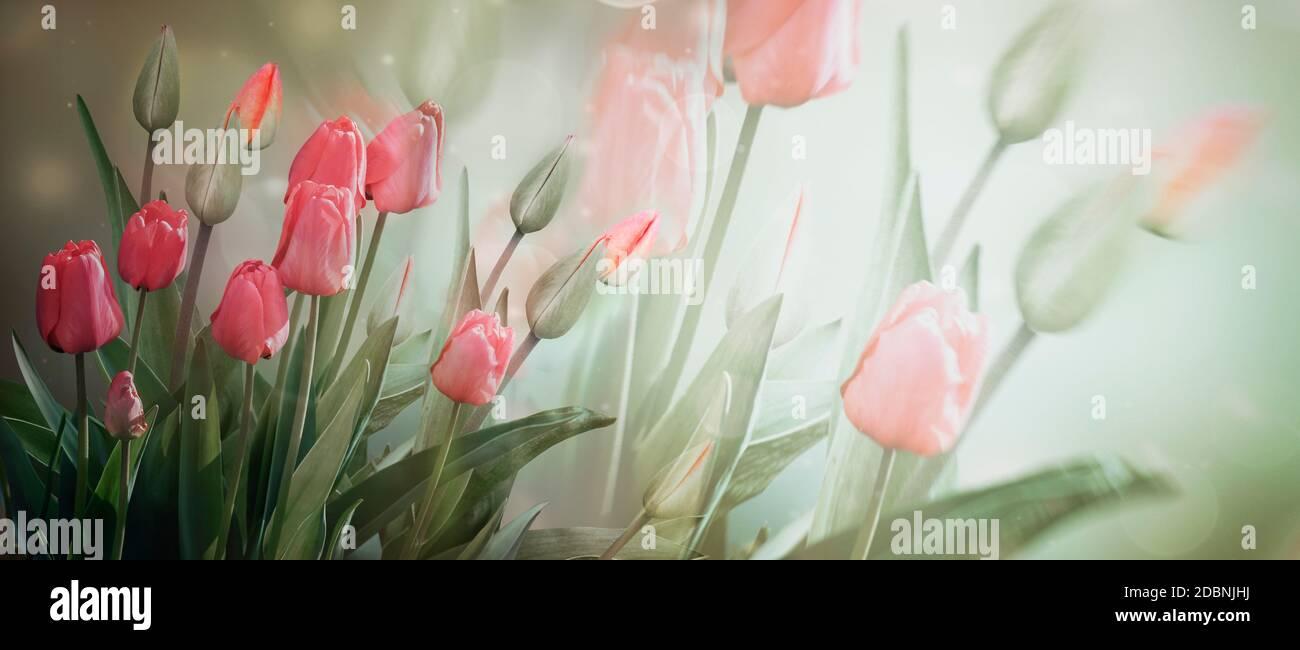 Delicadas flores rosadas y yemas de tulipán sobre un fondo claro en colores pastel. Banner, flores de primavera. Doble exposición Foto de stock