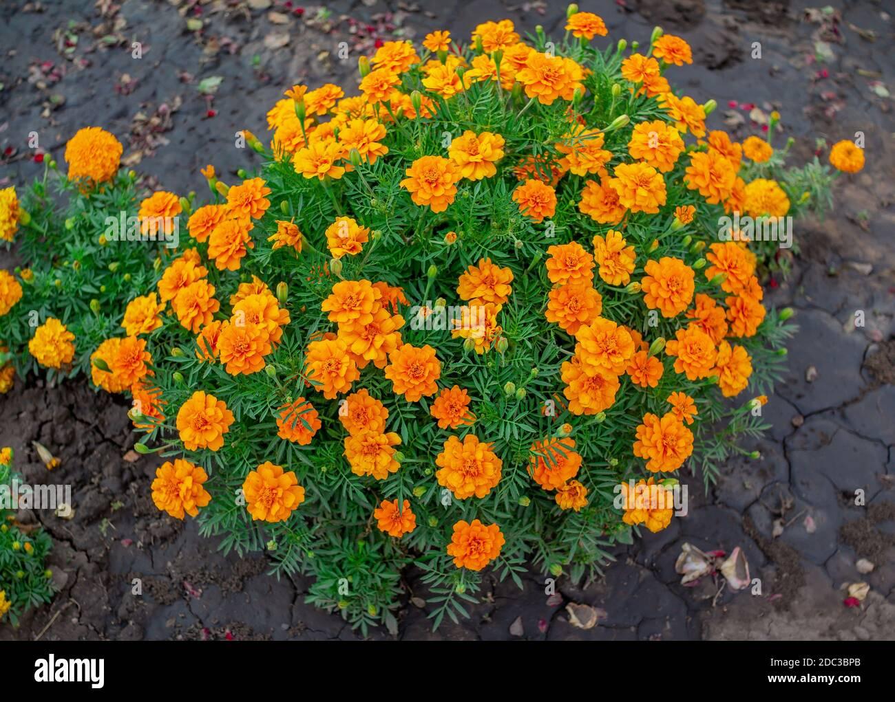 Hermosas flores de naranja brillante tagetes o Marigold, creciendo en el jardín Foto de stock