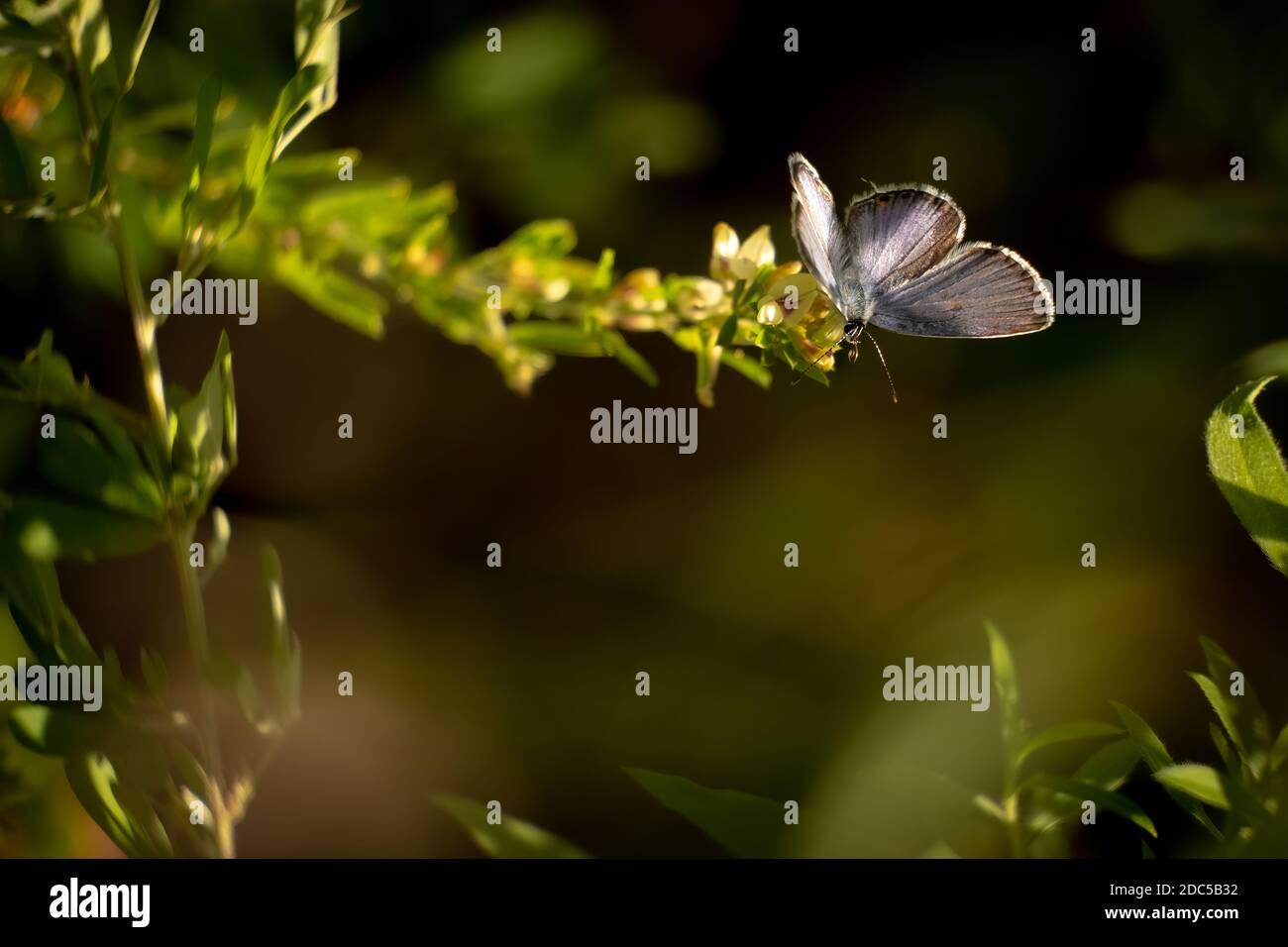 Un azul de cola oriental (Cupido comyntas). Raleigh, Carolina del Norte. Incluye espacio de texto o copia. Foto de stock