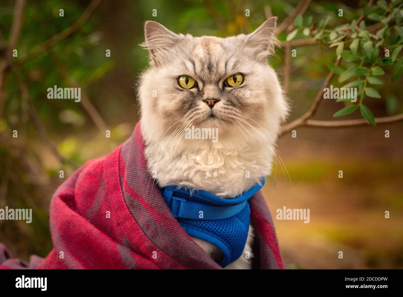 Gato divertido con arnés azul y manta sentado fuera en el bosque. Foto de stock