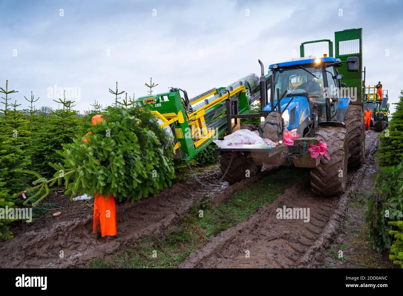 Milnathort, Escocia, Reino Unido. 23 de noviembre de 2020. Los árboles de Navidad se están cosechando en una plantación cerca de Milnathort en Perth y Kinross. La plantación es operada por la empresa Kilted Tree Company con sede en la granja Tillyochie cerca de Milnathort. Los trabajadores cortan árboles seleccionados y éstos se instalan dentro de las mangas protectoras utilizando maquinaria especializada en tractores antes de ser transportados al mercado. Iain Masterton/Alamy Live News Foto de stock