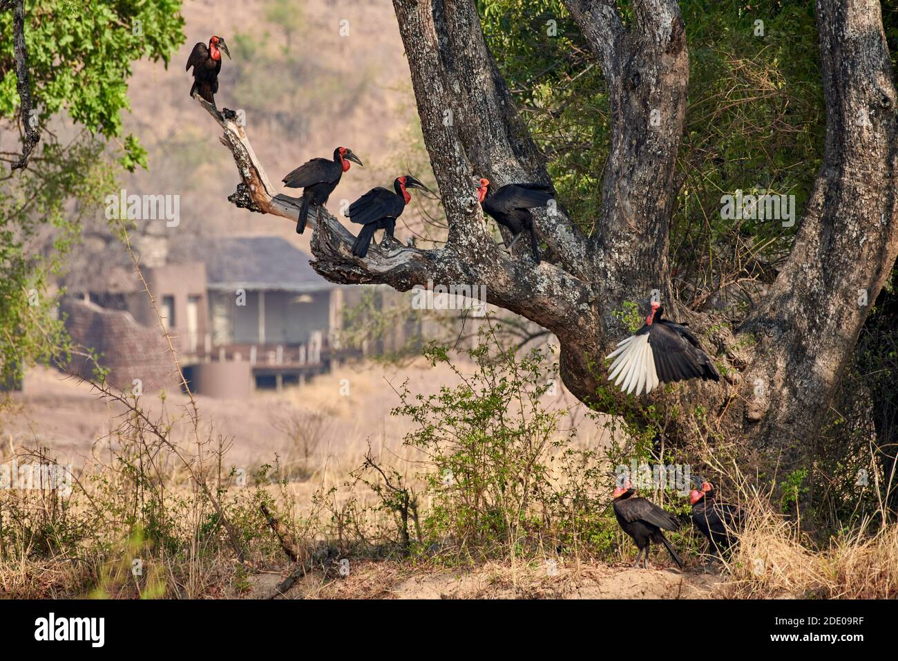 Siete Hornbill sur (Bucorvus leadbeateri; antes conocido como Bucorvus cafer), South Luangwa National Park, Mfuwe, Zambia, África Foto de stock
