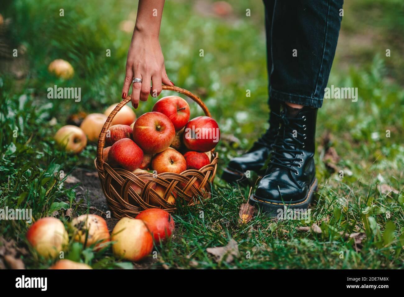 Mujer irreconocible recogiendo frutos rojos maduros de manzana en el jardín verde. Estilo de vida orgánico, agricultura, ocupación jardinera Foto de stock