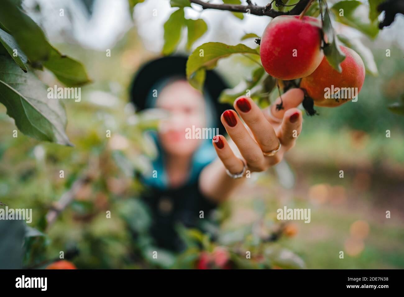 Mujer de cabello azul recogiendo frutas de manzana roja madura del árbol en el jardín verde. Estilo de vida orgánico, agricultura, ocupación jardinera Foto de stock