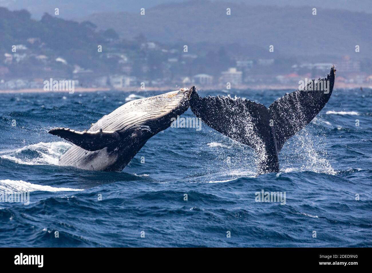 Cabezas o colas, ballenas jorobadas Madre y ternero, con el becerro rando mientras la cola de vaca (madre) rompiendo en Sydney, Australia Foto de stock
