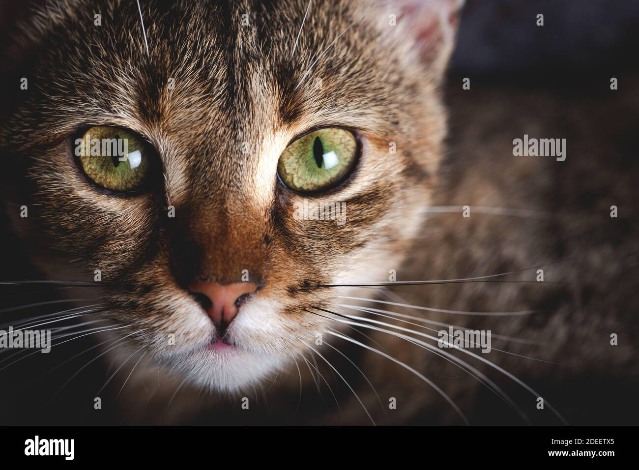 Gatito con ojos hermosos. Primer plano retrato de gatito de ojos verdes. Foto de stock