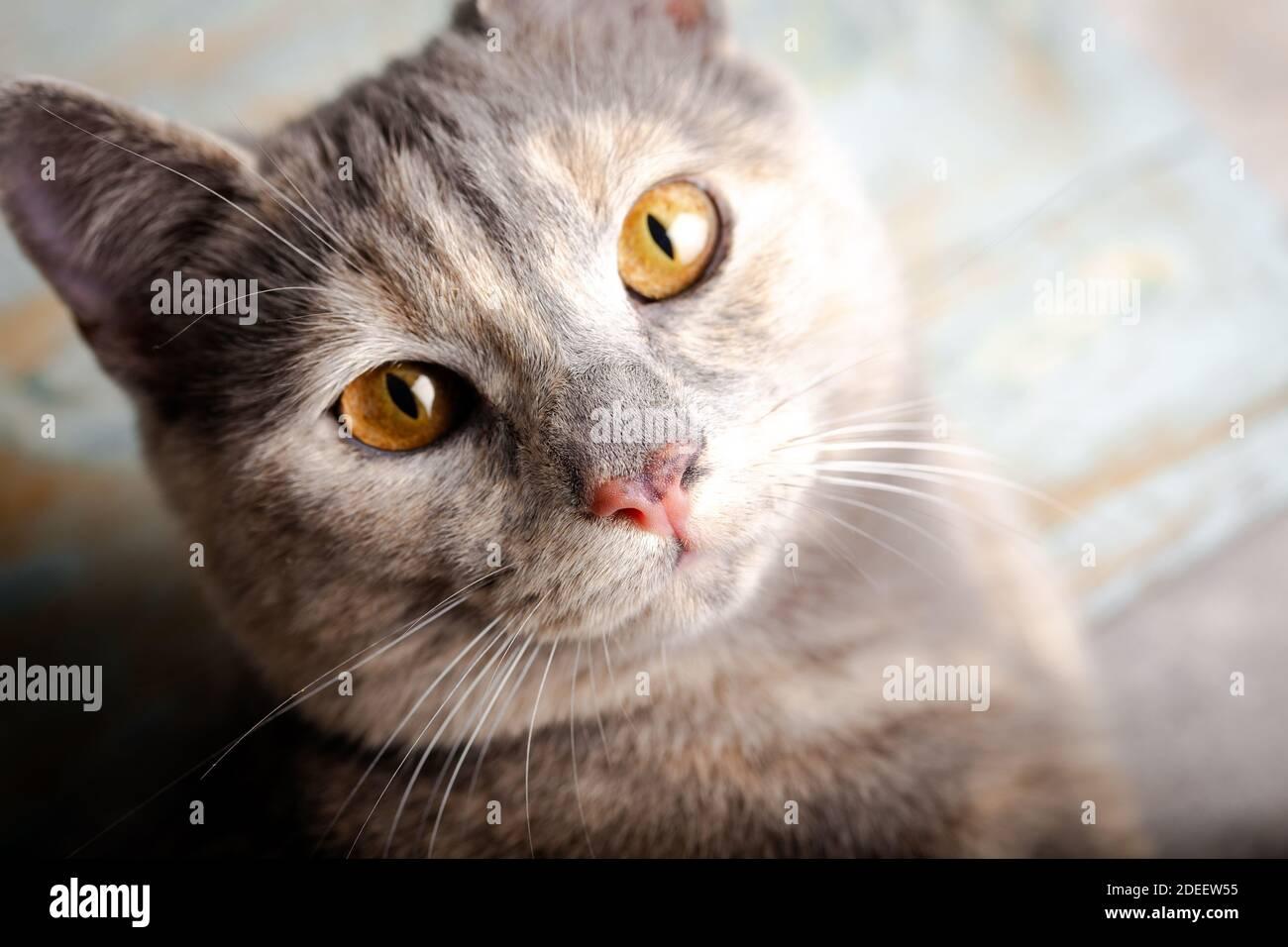 Gatito con ojos hermosos. Primer plano retrato de un gato de color melocotón con ojos de ámbar. Foto de stock