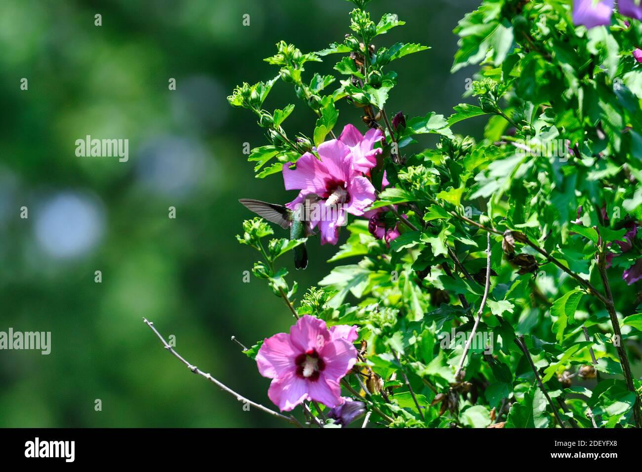 Los colibríes de garganta rubí se revolotan en el Néctar de recolección de flores de Hibiscus Foto de stock