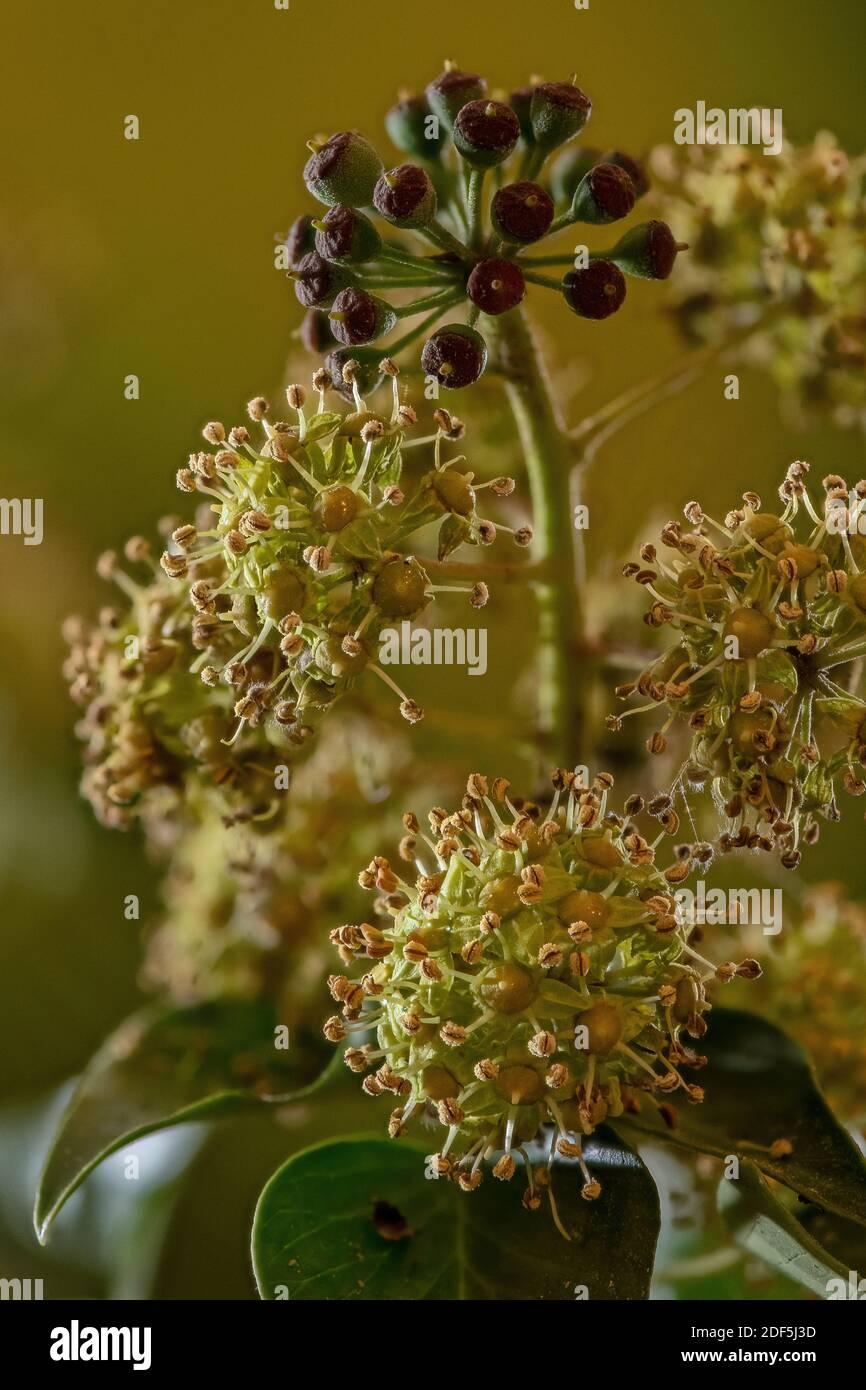 Flores y bayas de hiedra común, Hedera hélice, en otoño. Foto de stock