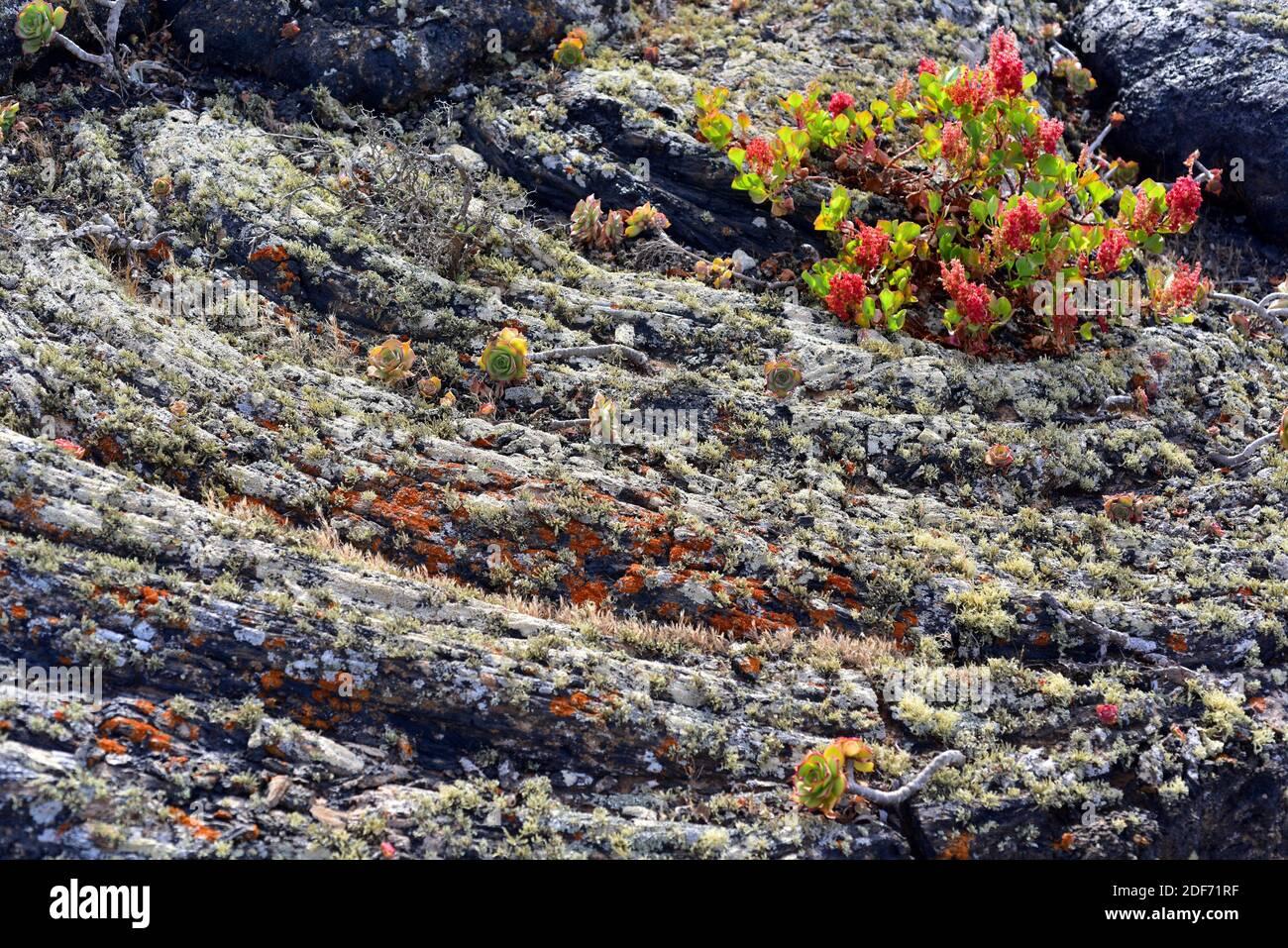 Pahoehoe o flujo de lava cerca de Masdache, Isla de Lanzarote, Islas Canarias, España. La lava está cubierta por líquenes, lanzarottense de Aeonium y lunaria de Rumex. Foto de stock