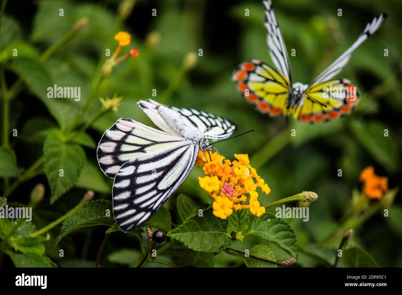 Mariposas Jezabel comunes (Delias euchariis) que se cimaban en las flores de lantana (Verbenaceae) en un parque en Mumbai, India. Foto de stock