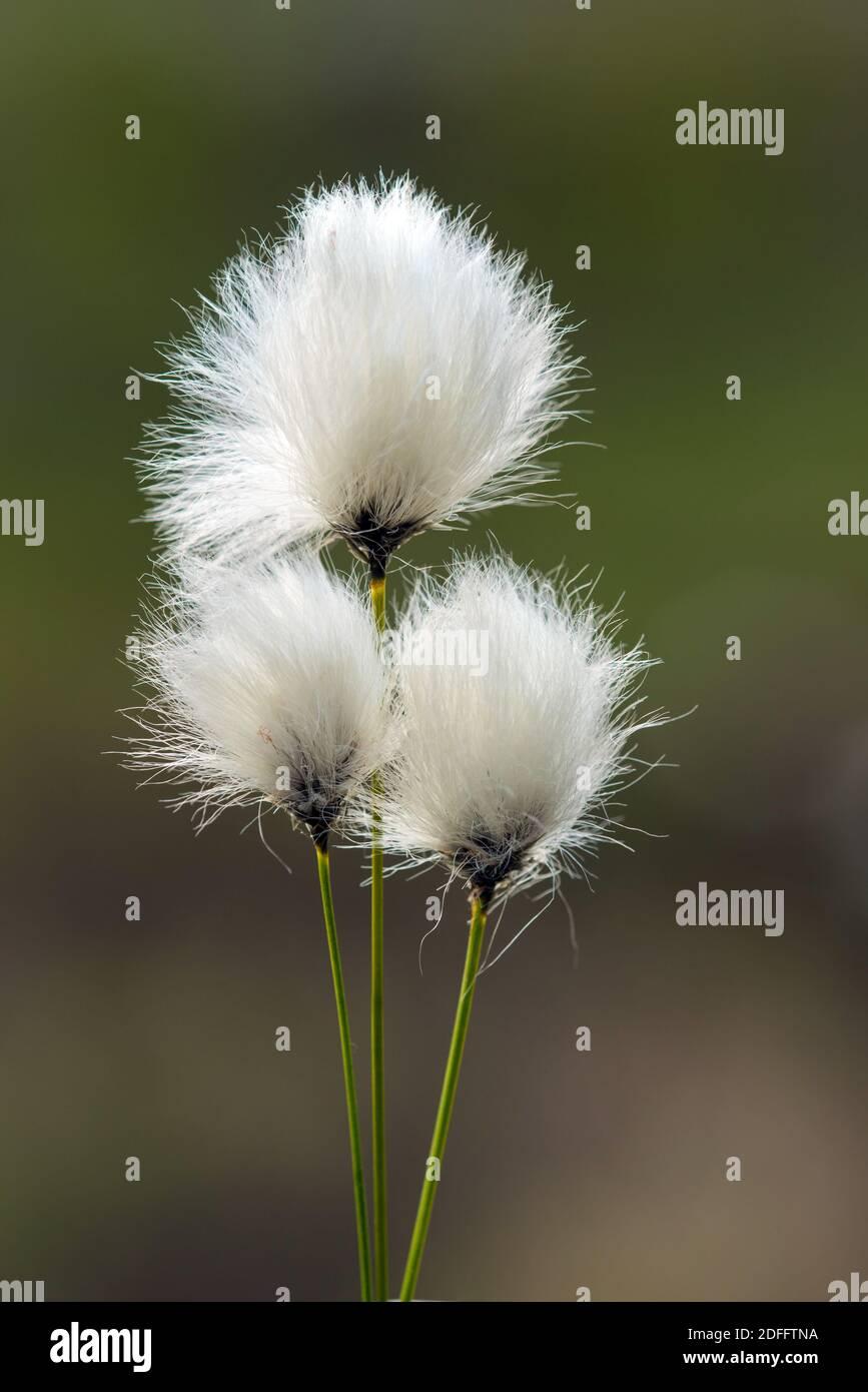 Wollgras, Fruchtstand, (eriophorum vaginatum), Foto de stock