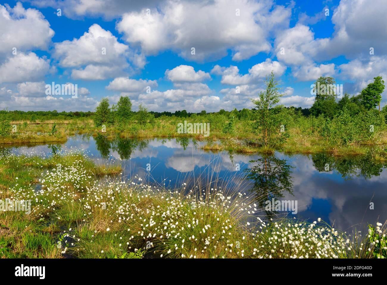 Wollgras, Fruchtstand, Goldenstedter Moor, Vechta, Foto de stock