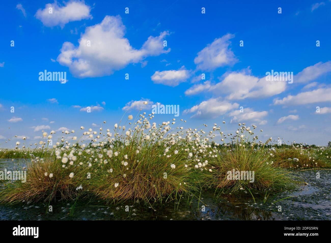 Blühendes Wollgras, Goldenstedter Moor, Vechta Foto de stock