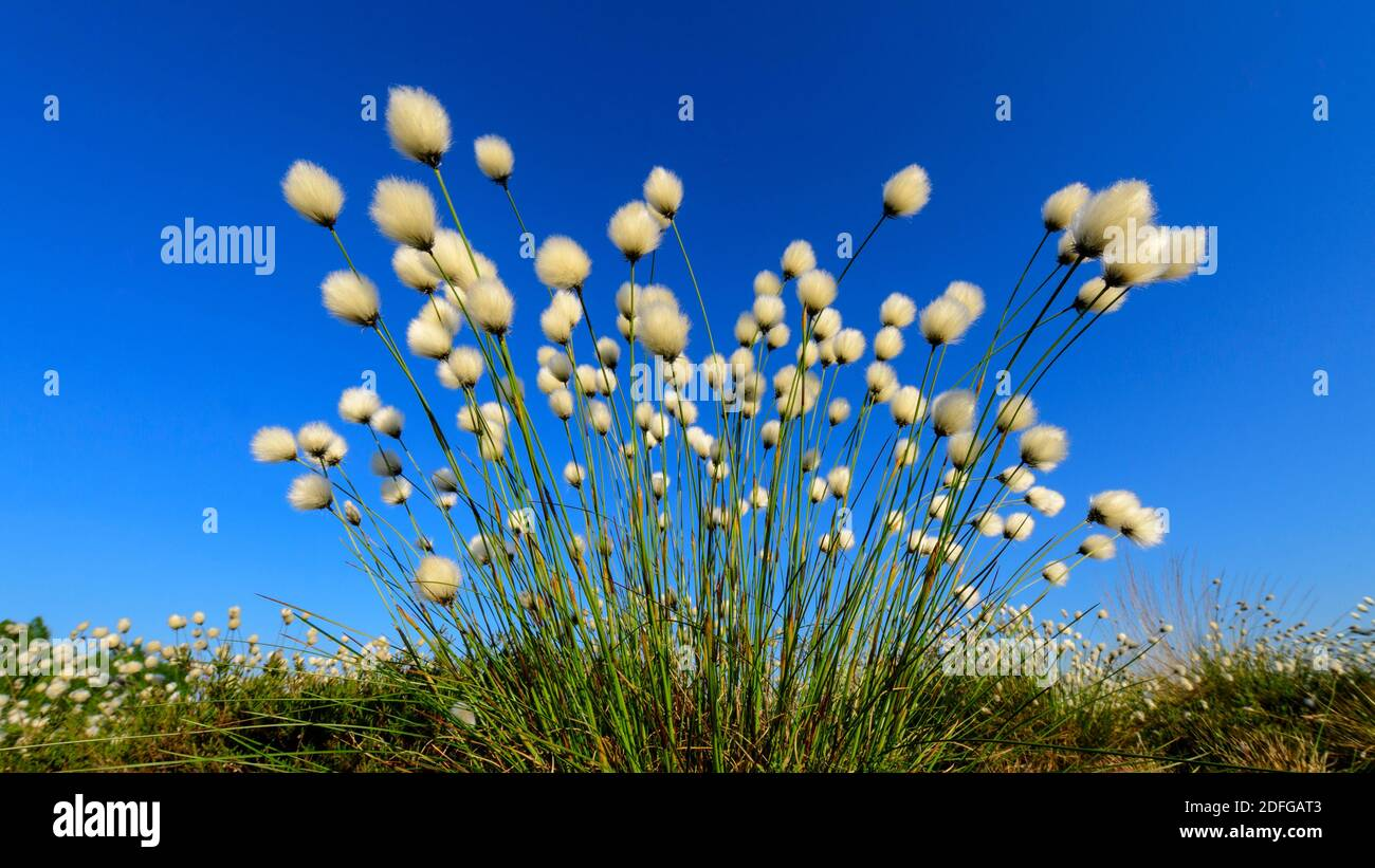 Blühendes Wollgras im Goldenstedter Moor, (eriophorum vaginatum), Foto de stock