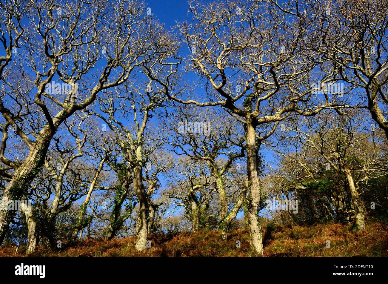 Torcidos robles de invierno en un antiguo bosque galés Lawrenny Antiguo Roble Woodland Pembrokeshire Wales Cymru Reino Unido Foto de stock