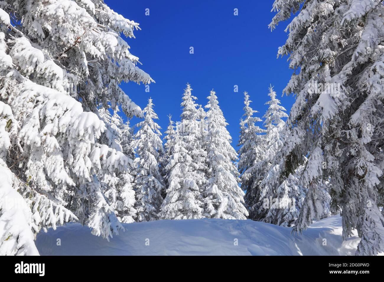 Hermoso paisaje en la fría mañana de invierno. Pinos en las motonieves. Césped y bosques. Fondo nevado. Paisaje natural. Ubicación Coloque la C Foto de stock