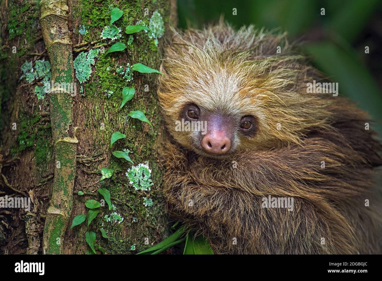 Sloth de dos dedos (Choloepus didactylus), Tortuguero, Costa Rica Foto de stock