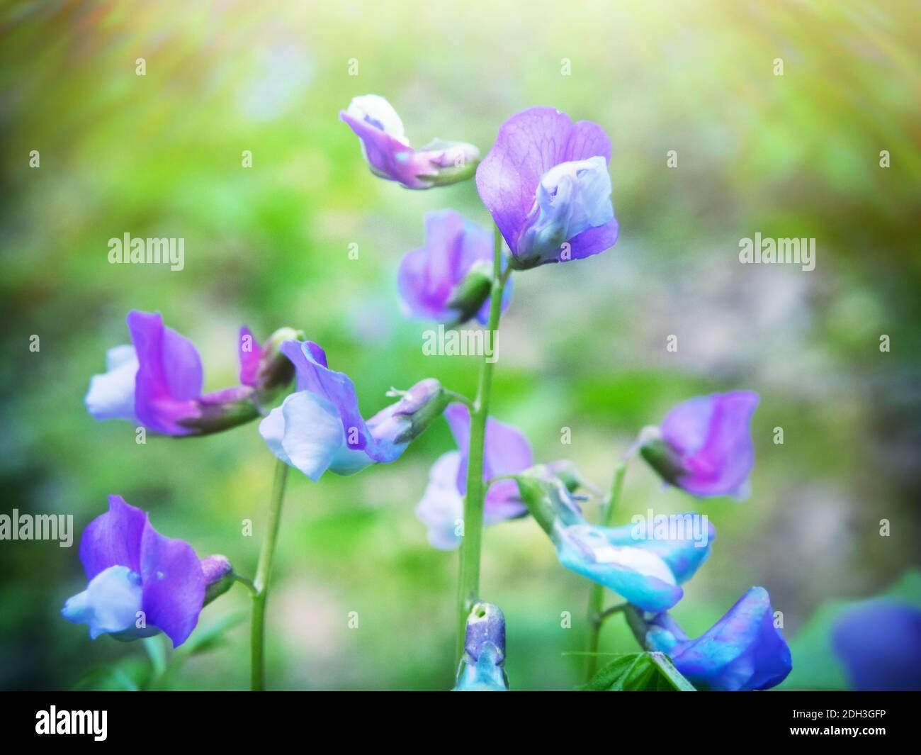 Flores Lathyrus vernus Foto de stock