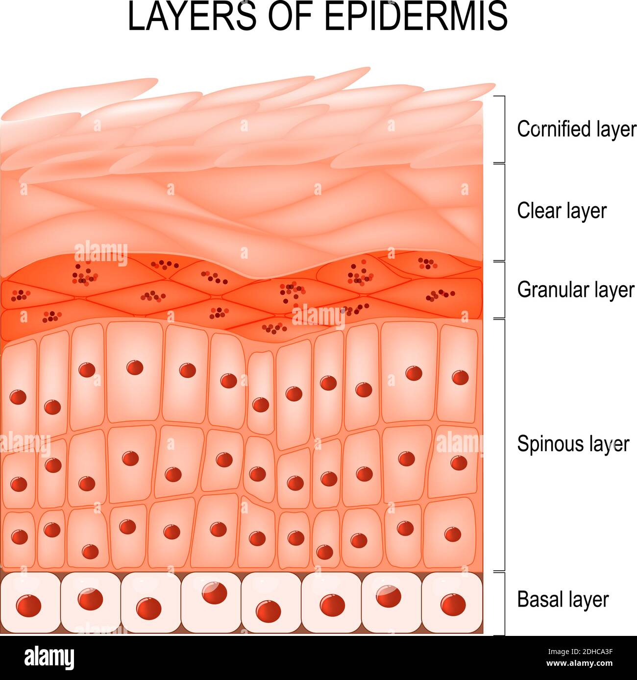 Estructura de la epidermis : cornisada (estrato corneum), capa transparente o traslúcida (lucidum), granular (estrato granulosum), espinosa (spinosum) Ilustración del Vector