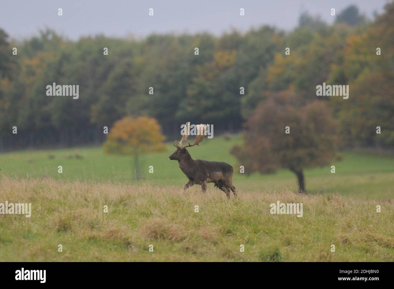 Un ciervo en los terrenos del Castillo de Raby, Condado de Durham rodeado de colores otoñales. Foto tomada el 16 de octubre de 2020 Foto de stock
