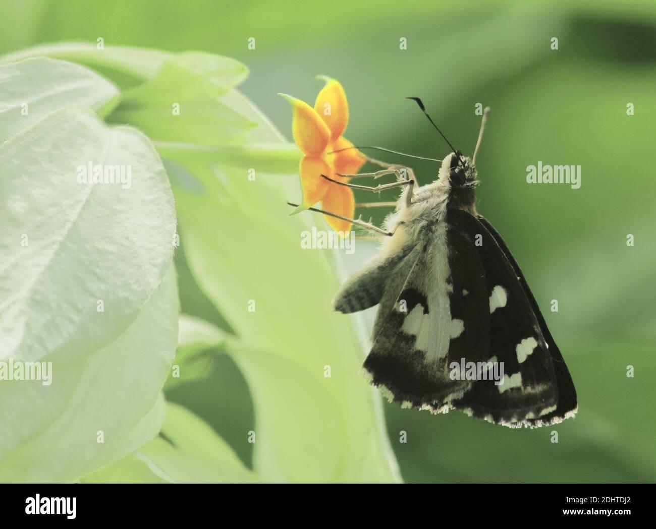 la mariposa del demonio del césped o el folus de udaspes está chupar néctar de las flores, campo de bengala occidental en la india Foto de stock