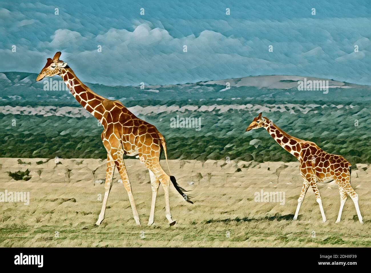 África, Kenia, Meseta de Laikipia, Distrito fronterizo Norte, Ol Pejeta Conservancy. Jirafas reticuladas (SILVESTRE: Giraffa camelopardalis reticulata) COM Foto de stock