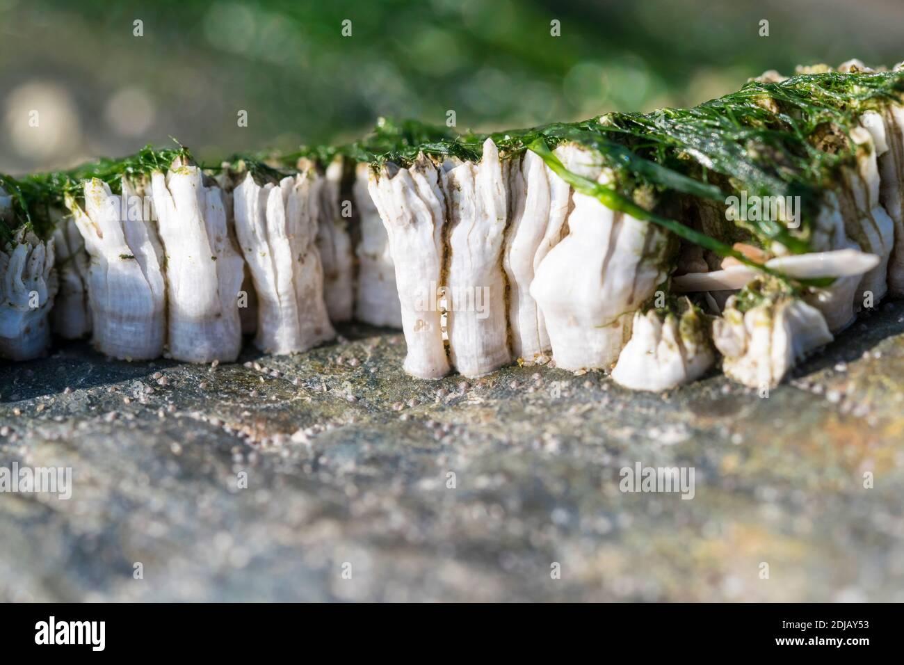 Acorn Barnacles Balanoides semi-balanus o vista lateral de Chthamalus stellatus en marea baja Foto de stock
