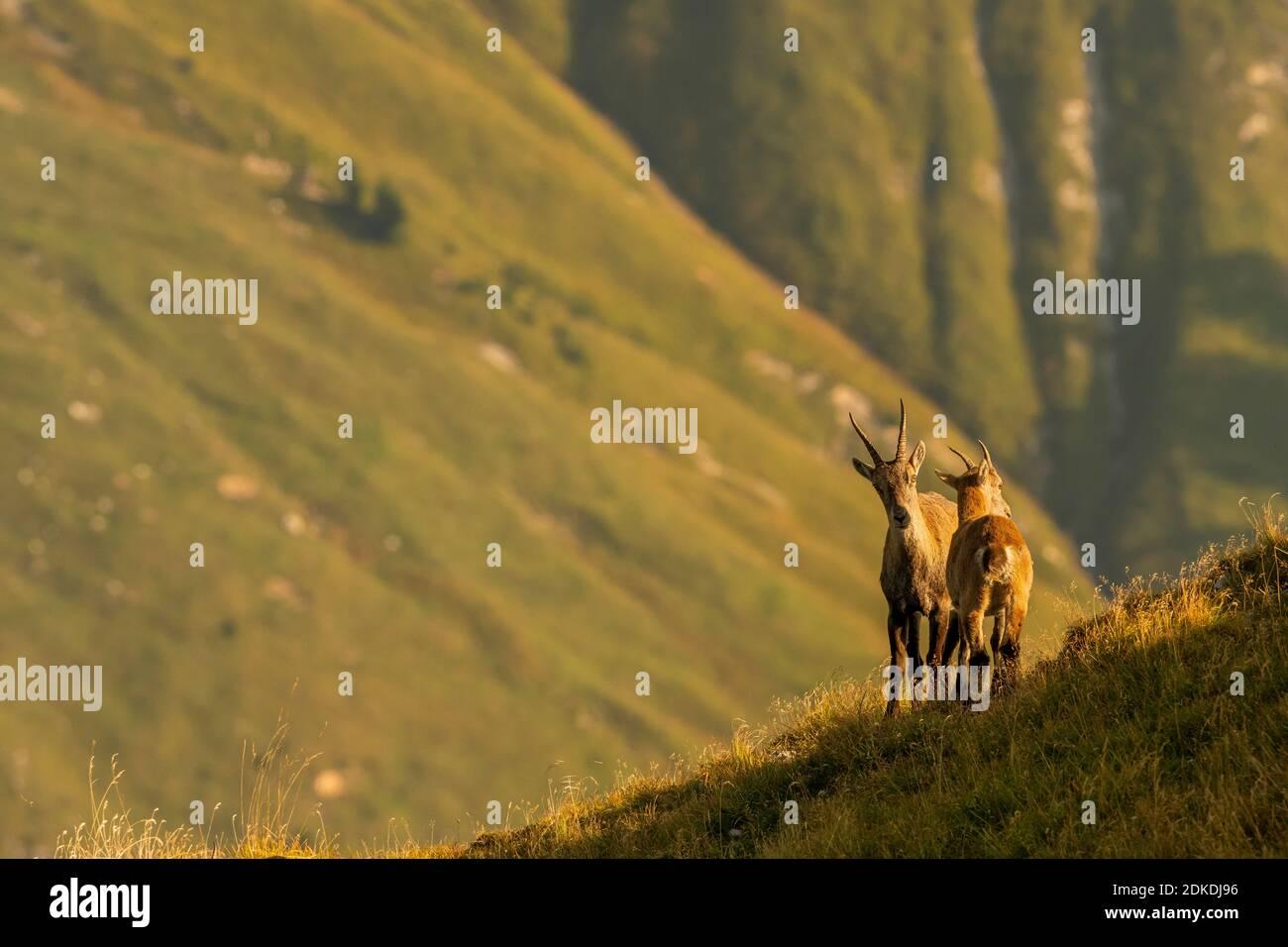 Dos mujeres ibex parecen estar profundamente en conversación, en la cálida luz de la mañana en un prado verde de montaña en el Karwendel. Foto de stock