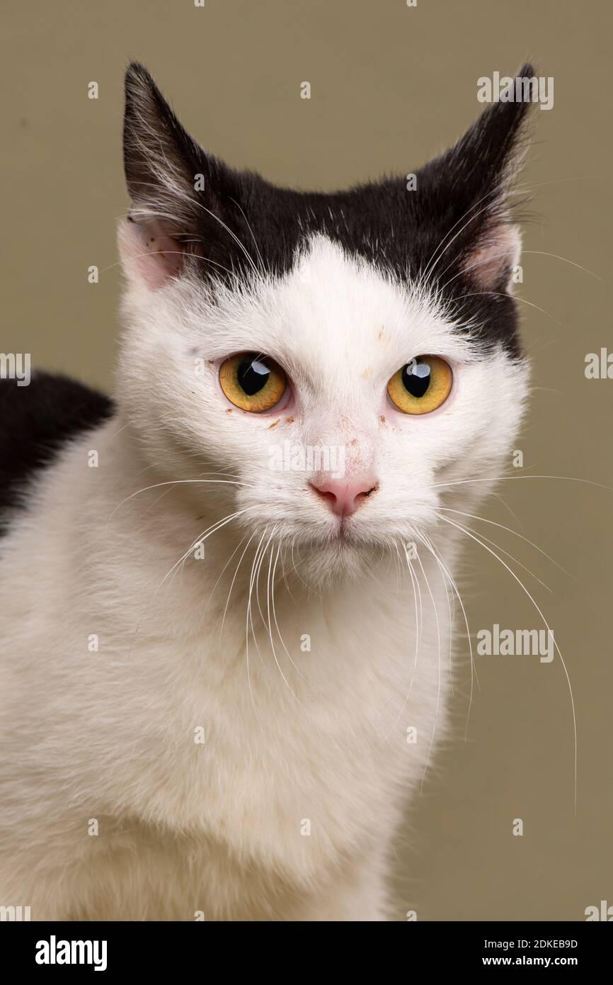 perro, gato de la casa, shortair, halloween, gato negro, gato blanco, mascota, animal, gatito, gato doméstico, gato, lindo, divertido, gatito, felino, doméstico, fondo, Foto de stock