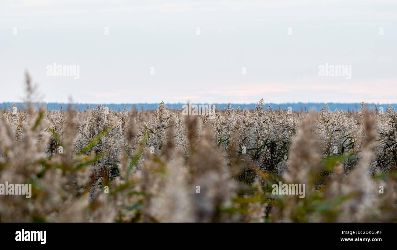 Hierba de junco en el sol de la mañana. Hierbas en la luz de fondo. Parque Nacional Vorpommersche Boddenlandschaft. Foto de stock