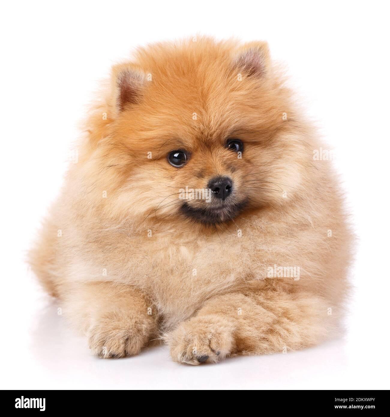 Pomeranian Spitz miente y posan delante de la cámara. Foto de stock