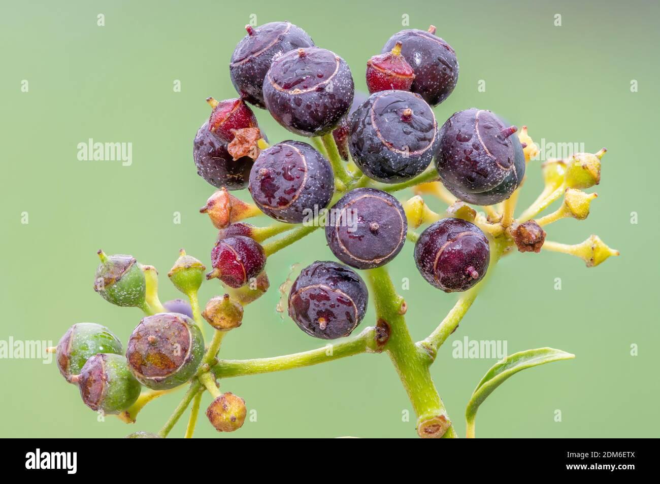 Primer plano de las bayas maduras de hiedra común (hedera Helix) Foto de stock